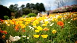 Poppy flowers swinging in wind
