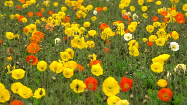 ポピー花スインギングでおくつろぎください。 - formal garden点の映像素材/bロール