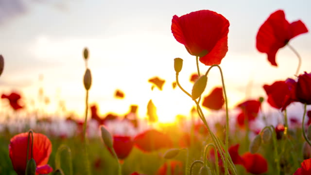 cu ds poppy flowers - dolly shot stock videos & royalty-free footage