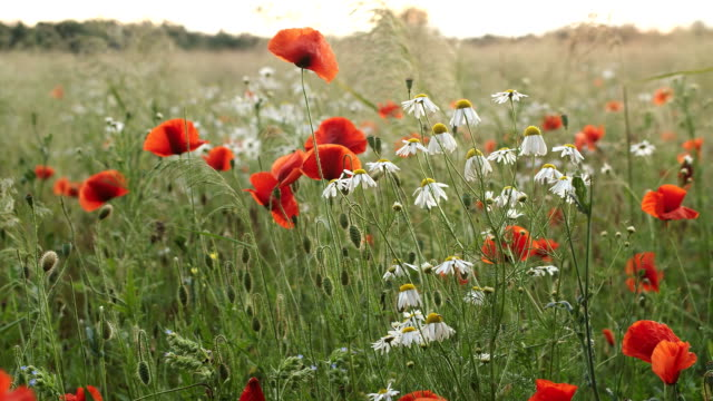 poppy flowers - meadow stock videos & royalty-free footage