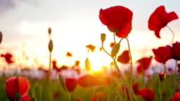 CU DS Poppy Flowers
