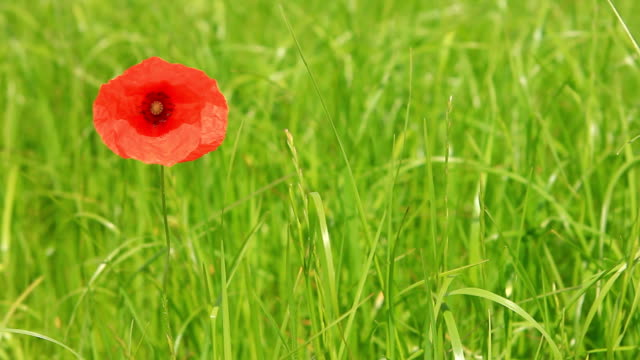 poppy on meadow - single object stock videos & royalty-free footage