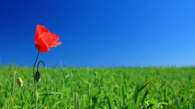 poppy on meadow - single flower stock videos & royalty-free footage