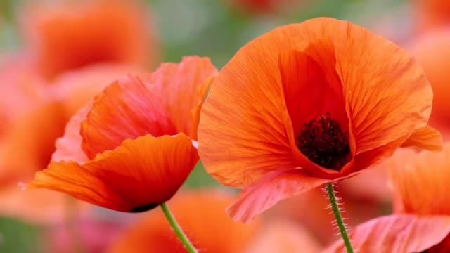 poppy - poppy plant stock videos and b-roll footage