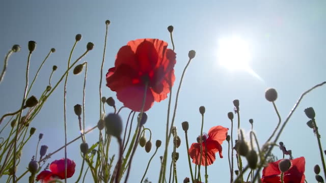 las poppy - flower stock videos & royalty-free footage