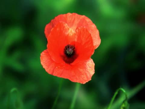 vidéos et rushes de ntsc : fleur de pavot - étamine