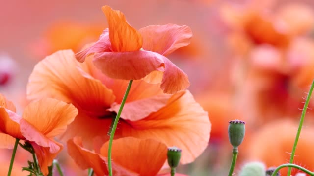poppy - telephoto lens stock videos and b-roll footage