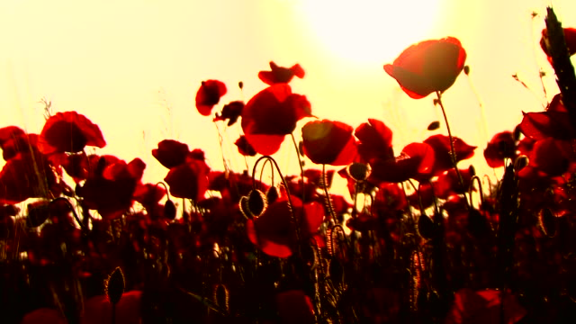 Poppys in Sunset