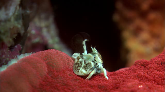 Porcelain crab uses setae to filter feed on carpet anenome on reef, West Papua, Indonesia