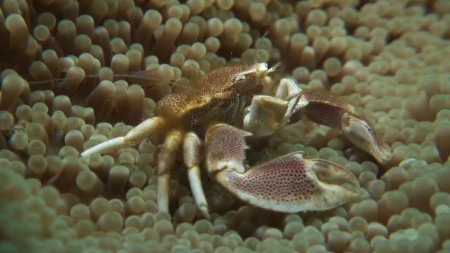 porcelain crab - 動物の色点の映像素材/bロール