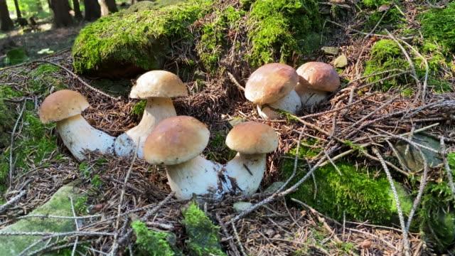 森の中のポルチーニマッシュルーム - 自生点の映像素材/bロール
