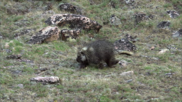 Porcupine (Erethizon dorsatum) ambles over slope, Yellowstone, USA