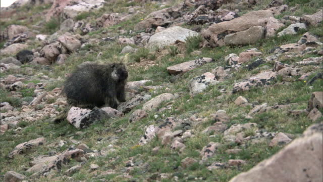Porcupine (Erethizon dorsatum) ambles up slope, Yellowstone, USA