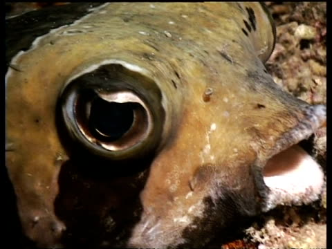 porcupine fish resting at night on coral reef, derawan, celebes sea, indonesia - puffer fish stock videos & royalty-free footage