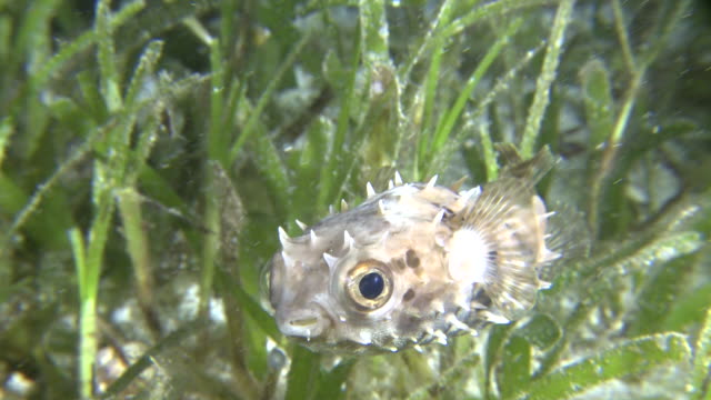 porcupine fish, southern visayas, philippines - balloonfish stock videos and b-roll footage