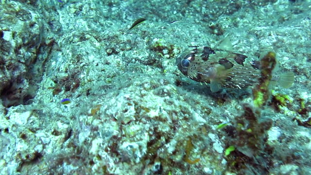 porcupine fish swimming low over the coral reef. coiba national park panama. - balloonfish stock videos and b-roll footage
