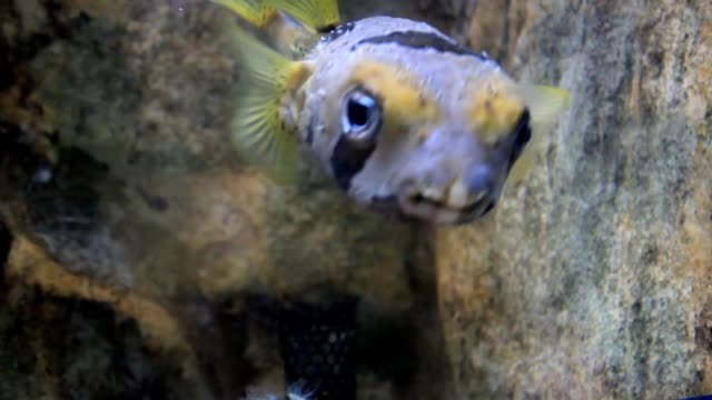 porcupine fish - balloonfish stock videos and b-roll footage