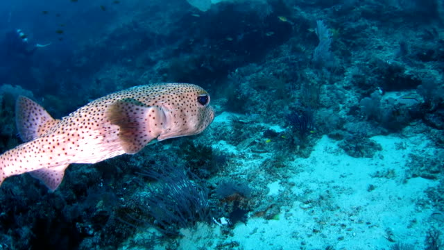 porcupine pufferfish (diodon hystrix) swimming undersea, indonesia - balloonfish stock videos and b-roll footage