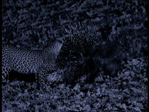 Porcupine turns to show quills to leopard cub, cub retreats, South Luangwa National Park, Zambia