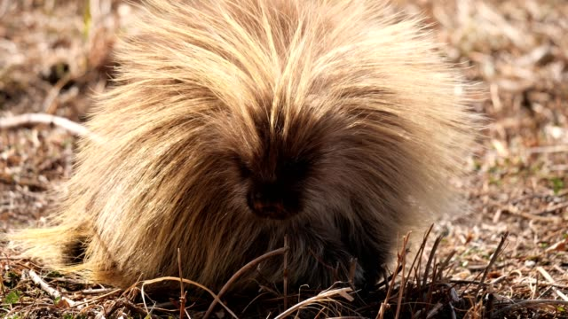 porcupine - montana western usa stock videos & royalty-free footage