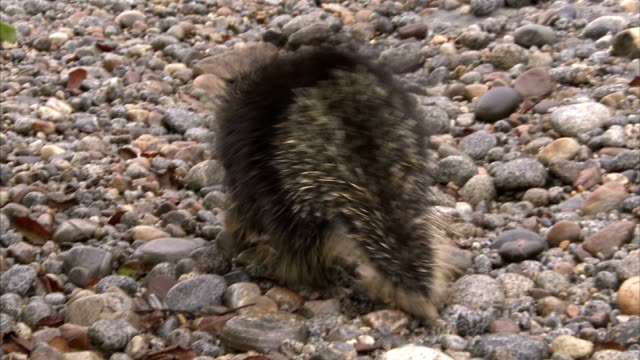 a porcupine waddles across a pebbly beach. - riverbed stock videos & royalty-free footage