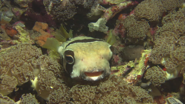 porcupinefish medium close up, indonesia  - puffer fish stock videos & royalty-free footage