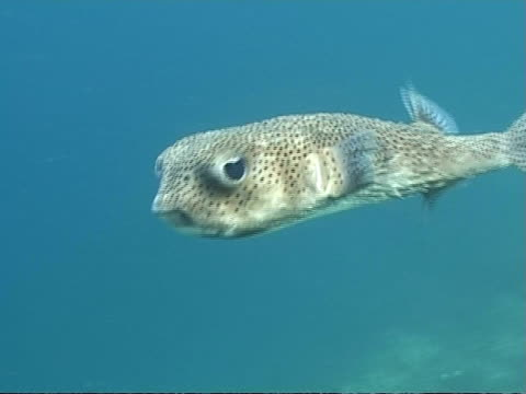 Porcupinefish moves past, looking to camera, CU and MS, Maldives