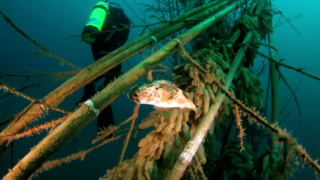 porcupinefish swimming around squid eggs - balloonfish stock videos and b-roll footage