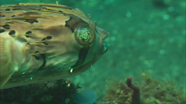 porcupinefish,turns on coral, close up, indonesia  - puffer fish stock videos & royalty-free footage