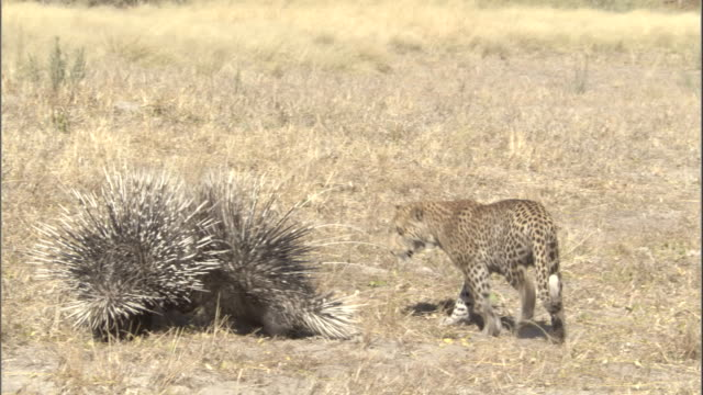 porcupines rattle their quills defensively at a circling leopard cub. - ヒョウ点の映像素材/bロール