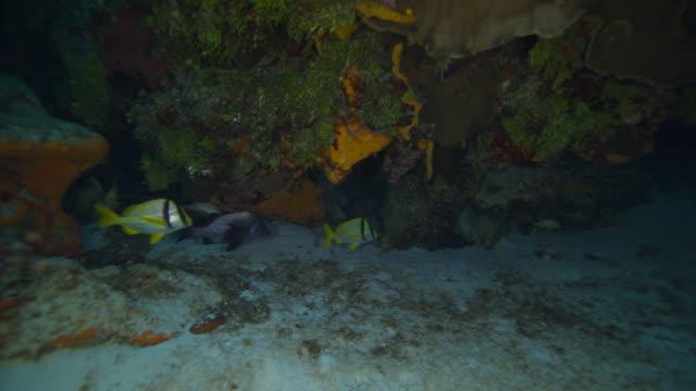 porkfish - yucatan peninsula stock videos and b-roll footage