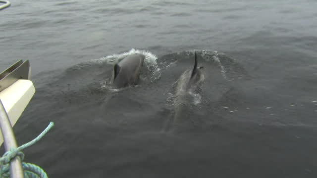 porpoises swimming beside fishing trawlers in monterey bay - ネズミイルカ点の映像素材/bロール