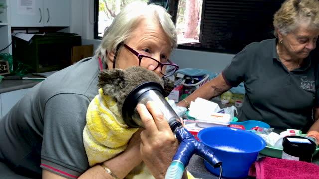 port macquarie koala hospital on november 29, 2019 in port macquarie, australia. volunteers from the koala hospital have been working alongside... - working animals stock videos & royalty-free footage