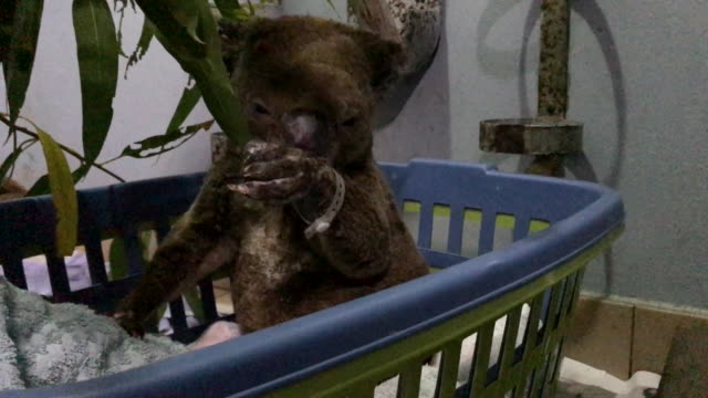 vídeos y material grabado en eventos de stock de port macquarie koala hospital on november 29, 2019 in port macquarie, australia. volunteers from the koala hospital have been working alongside... - australia