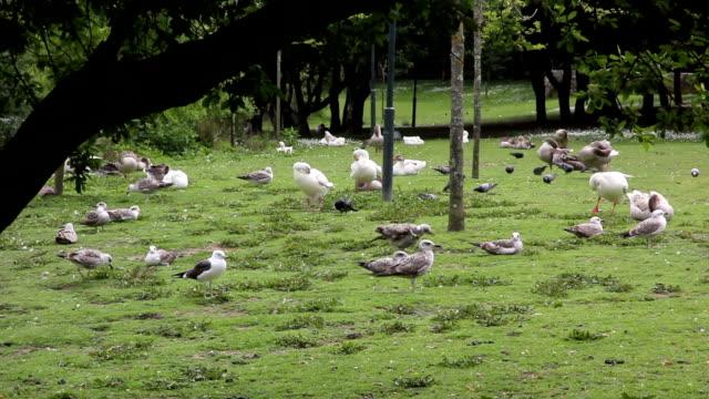 porto parque da cidade duck - drongo stock videos and b-roll footage