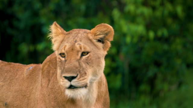portrain of a lion, maasai mara, kenya, africa - scar stock videos and b-roll footage