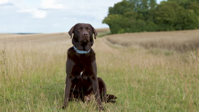 portrait clip of a chocolate labrador in the countryside - animal head stock videos & royalty-free footage