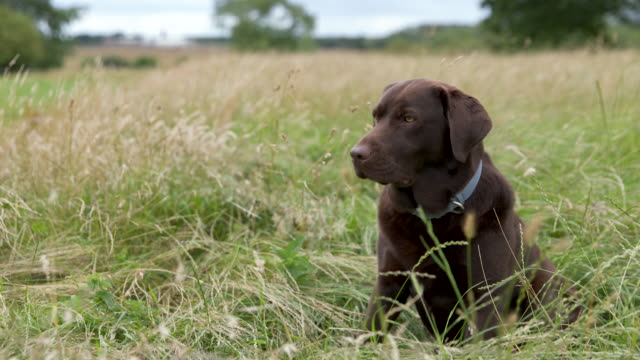portrait clip of a chocolate labrador in the countryside - domestic animals stock videos & royalty-free footage