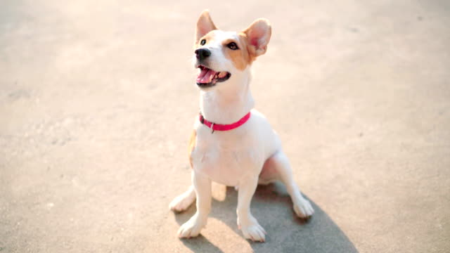 Portrait Fullbody Jack Russell Terrier Dog curiosity looking in traning