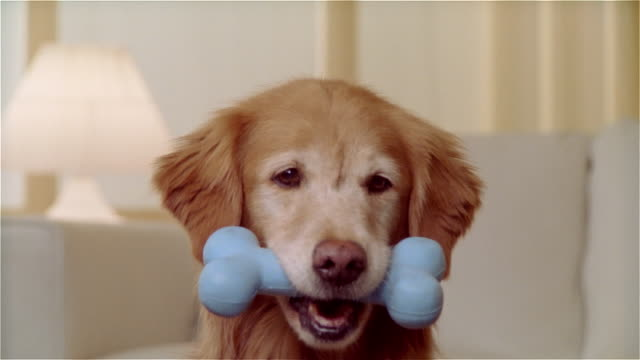 cu portrait golden retriever with rubber bone in mouth - bone stock videos & royalty-free footage