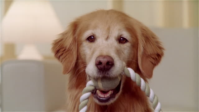 stockvideo's en b-roll-footage met cu portrait golden retriever with tennis ball and rope toy in mouth - bal
