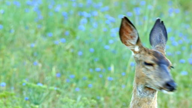 Portrait head of deer alert cute North American Blacktail Mule Deer Doe Grazing in Wildflower Meadow in the Columbia River Gorge near Rowena Crest