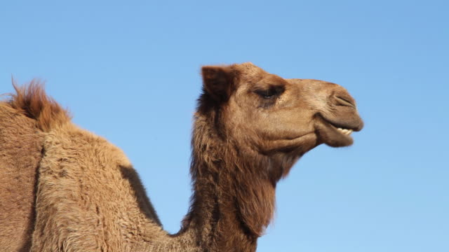 portrait of a camel chewing the cud - camel stock videos & royalty-free footage