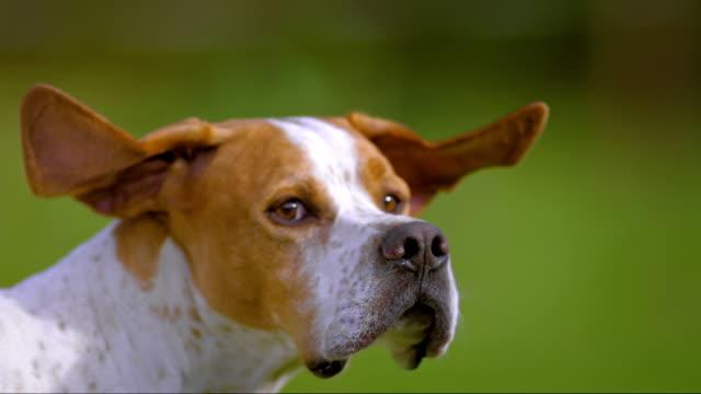 vídeos y material grabado en eventos de stock de slo mo portrait of a dog turning his head - perro cazador