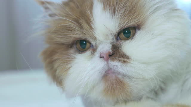 飼い猫の肖像。クローズ アップ。 - 突き出た鼻点の映像素材/bロール