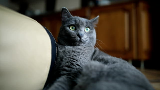 portrait of a fluffy grey cat lying on the floor at home indoor. - animal body part stock videos & royalty-free footage