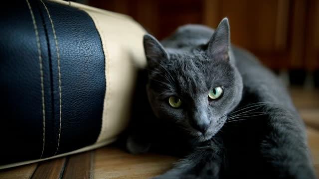 自宅屋内の床に横たわっているふわふわした灰色の猫の肖像画。 - animal body part点の映像素材/bロール