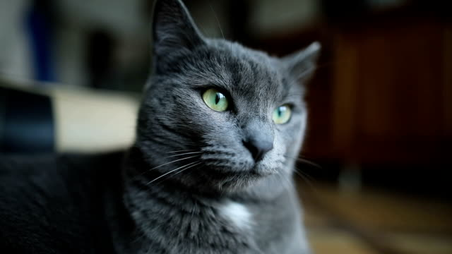 ritratto di un soffice gatto grigio sdraiato sul pavimento di casa al coperto. - looking at camera video stock e b–roll