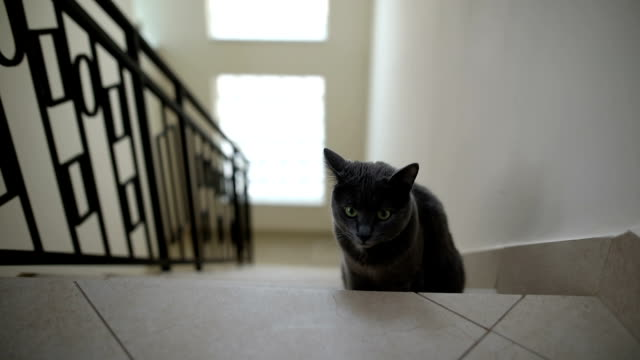 portrait of a fluffy grey cat sitting on the stairs at home indoor. - animal body part video stock e b–roll