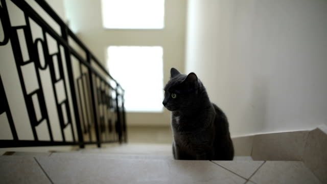 portrait of a fluffy grey cat sitting on the stairs at home indoor. - animal body part stock videos & royalty-free footage